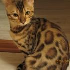 Бенгальский котик 5 месяцев в разведение