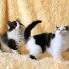 Котята 3 мес, Шиповник (М) и Акация (Ж)