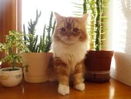 IШотландский кот на вязку Сэр шотландский хайленд страйт приглашает кошечек на с