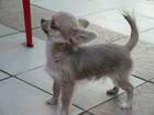 Изображение в Собаки и щенки Продажа собак, щенков Серебристый Жемчуг- длинношерстный мини-мальчик в Евпатория 30000
