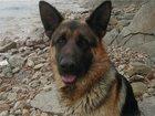 Фотография в Собаки и щенки Вязка собак Немецкая овчарка - кобель ждёт для вязки в Феодосия 0