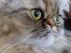 Фото в Кошки и котята Вязка Молодая, сногсшибательная, прелестная, милая в Феодосия 0