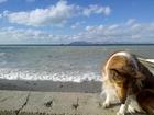 Фотография в Собаки и щенки Вязка собак Умница-красавица колли, 4 лет, из хорошей в Геленджике 0