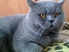 Скачать foto  Шикарный шотландский кот Вязка с 14 мая!(Скоттиш-страйт,прямоухий) Вязка с котом 38970989 в Геленджике