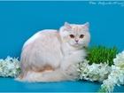 Скачать foto Вязка кошек Вязка кота Best of Best, Чемпион породы 62058664 в Геленджике