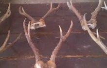 Продам охотничьи трофеи рога косули рога козерога