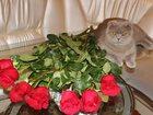 Фото в Кошки и котята Вязка Срочно! ! ! Очень красивая кошечка скоттиш в Георгиевске 0