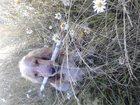 Уникальное изображение Вязка собак Английский спаниель возраст 1 год 5 мес, 33193899 в Горно-Алтайске