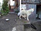 Фотография в Help! Находки Отдадим только хозяину белая лайка, фотографии в Горно-Алтайске 0