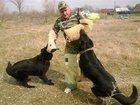 Фото в Собаки и щенки Выставки собак дрессировка собак всех порол постановка на в Гулькевичи 17