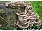 Фото в   Изготовим грибные блоки вешенки под заказ в Гулькевичи 130