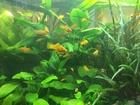 Изображение в   Аквариумные растения из своих аквариумов в Ханты-Мансийске 0