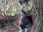Уникальное фотографию  хорошие котята в подарок, с примесью сиамской породы, 70567706 в Ипатово
