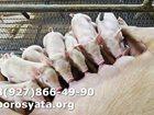 Изображение в Домашние животные Другие животные Продаем поросят (30-40 дней) Мальчики кастрированные, в Ирбите 0