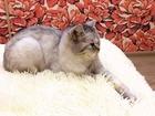 Ишем кота для вязки британская
