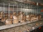 Скачать бесплатно фото Птички куры несушки и перепела 34526222 в Искитиме