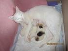 Фото в  Отдам даром - приму в дар Два полностью белых котика и одна трёхцветная в Истре 0