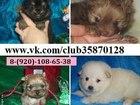 Фото в Собаки и щенки Продажа собак, щенков Чистокровных щеночков продам недорого и не в Иваново 0