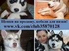 Фотография в Собаки и щенки Продажа собак, щенков Продам чистокровных хасей недорого. Минимальные в Иваново 0