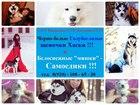 Изображение в Собаки и щенки Продажа собак, щенков Щеночков Сибирской Хаски разных окрасов продам в Иваново 8000
