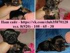 Фотография в Собаки и щенки Продажа собак, щенков Йоркширского терьера чистокровных щеночков в Иваново 0