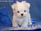 Изображение в Собаки и щенки Продажа собак, щенков Продаются красивейшие щенки Мальтезе (мальтийская в Иваново 25000