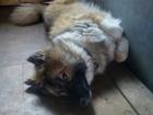 Изображение в Потерянные и Найденные Потерянные Потерялась собака . Очень лохматая лайка в Иваново 0