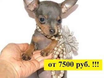 Русский той-терьер фото в Иваново