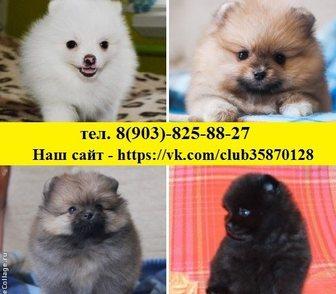 Фотография в Собаки и щенки Продажа собак, щенков Шпица чистокровных и не чистокровных щеночков в Иваново 8500