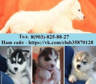 Фото в Собаки и щенки Продажа собак, щенков Хаски добрых и милых щеночков продам в добрые в Иваново 111