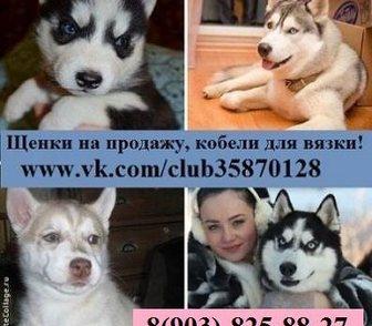 Фото в Собаки и щенки Продажа собак, щенков ХАСКИ чистокровных щеночков - продам по минимальным в Иваново 0