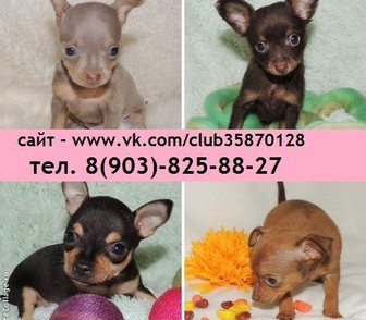 Фотография в Собаки и щенки Продажа собак, щенков Продам щеночков той терьера недорого по хорошей в Иваново 0