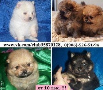 Изображение в Собаки и щенки Продажа собак, щенков Продам недорого щеночков Шпица чистокровных в Иваново 10000