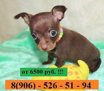 Изображение в Собаки и щенки Продажа собак, щенков Чистокровных щеночков той-терьера продам в Иваново 6500