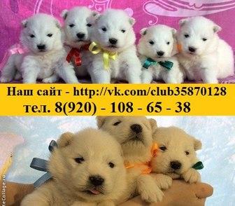 Фотография в Собаки и щенки Продажа собак, щенков Белоснежные красивенные щеночки самоедской в Иваново 0