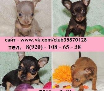 Фотография в Собаки и щенки Продажа собак, щенков Продам по минимальным ценам щенков той-терьера в Иваново 7500