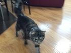 Фотография в Потерянные и Найденные Потерянные куплю своего кота, ушел в ночь на 8 апреля, в Ижевске 0