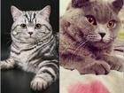 Изображение в Кошки и котята Продажа кошек и котят Открываем резервирование на 5 шикарных британских в Ижевске 0