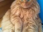 Просмотреть фото Потери Потерялся кот рыжего цвета, 35361416 в Ижевске