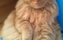 Потерялся кот рыжего цвета