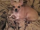 Изображение в Собаки и щенки Вязка собак Девочка Бонита чихуахуа, возраст 4 года, в Ярославле 0
