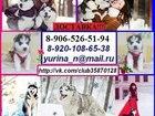 Фотография в Собаки и щенки Продажа собак, щенков Хаски щенков разных окрасов продам ! ! ! в Ярославле 123