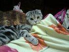 Фотография в Кошки и котята Вязка Шотландский вислоухий котик с ненасытным в Ярославле 1500