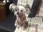 Фото в Собаки и щенки Вязка собак Ждем жениха для нашей красавицы. в Ярославле 0