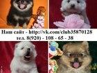 Изображение в Собаки и щенки Продажа собак, щенков ШПИЦА чистокровных и не чистокровных щеночков, в Ярославле 0