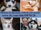 Изображение в Собаки и щенки Продажа собак, щенков Продам чистокровных хасей недорого. Минимальные в Ярославле 0
