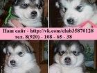 Фотография в Собаки и щенки Продажа собак, щенков Аляскинских маламутов чистокровных щеночков в Ярославле 10000
