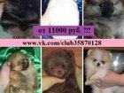 Фотография в Собаки и щенки Продажа собак, щенков Продам породистых чистокровных и не чистокровных в Ярославле 11000