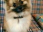 Скачать изображение Вязка собак Молодой кобель для вязки 36896881 в Ярославле