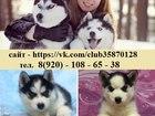 Фотография в Собаки и щенки Продажа собак, щенков ХАСКИ ярких щеночков разных окрасов продам в Ярославле 0